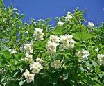 Blommande jasminer...