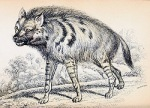 azara_striped_hyena