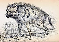azara_striped_hyena