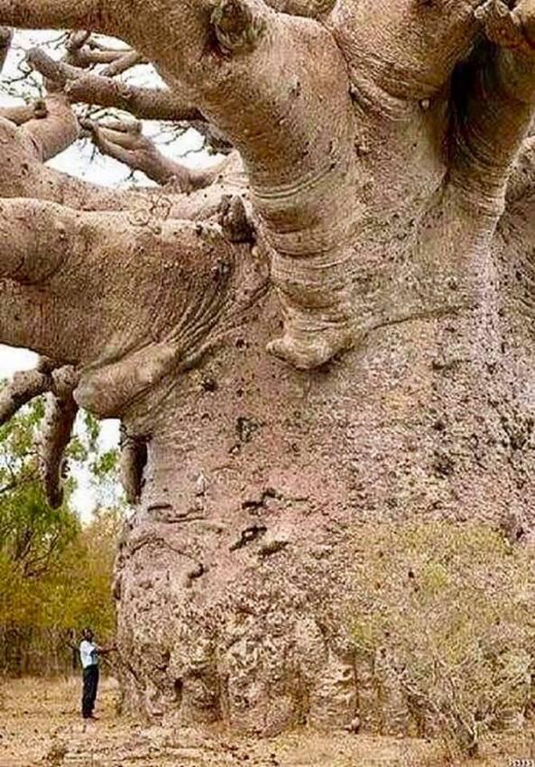 6000årgammaltträd Tanzana