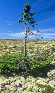 Äldsta+trädet+på+jorden