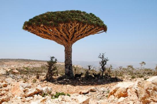 drakträd,yemen