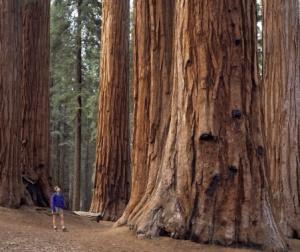 Redwood-tree_2