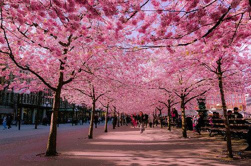 cherry-blossoms-sakura-spring-1_large