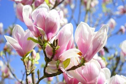 magnolia-324276_640