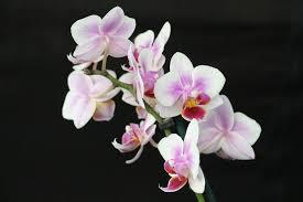 orkidé1